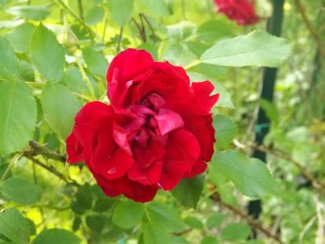 garden 5-30-13 007