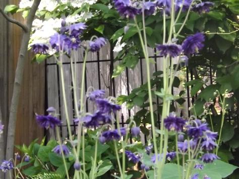 garden 5-30-13 010