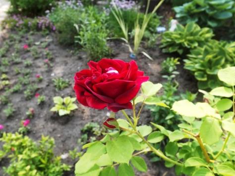 garden 5-30-13 020