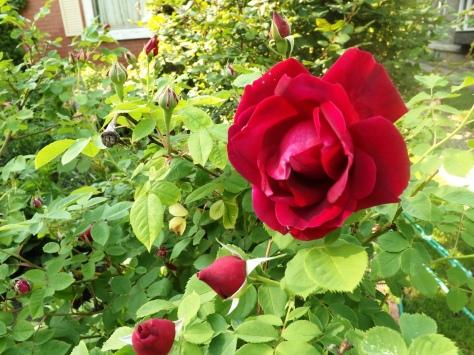 garden 5-30-13 021