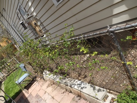 garden update 5-4-13 005