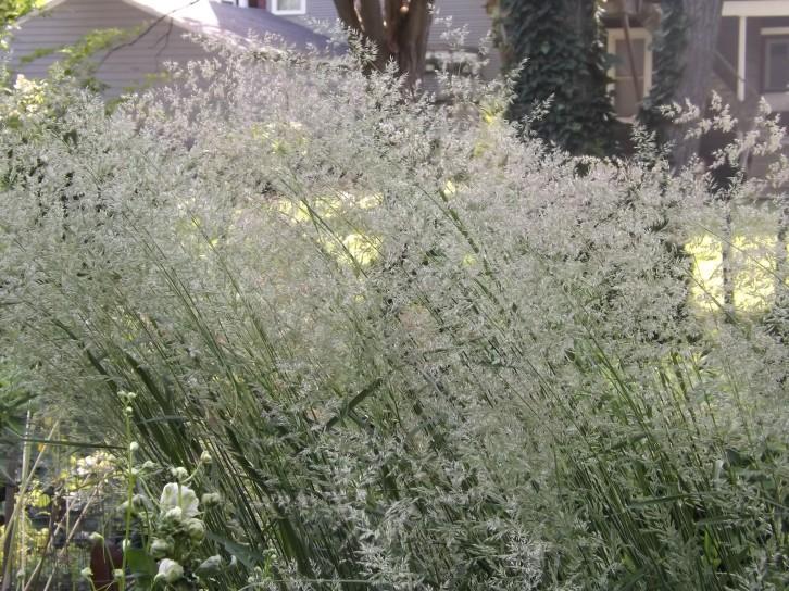 Feather reed grasses (Calamagrostis x acutiflora)