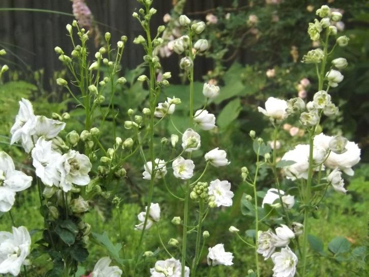 Delphinium ready to bloom