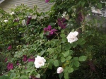 Clematis and Roses grown together