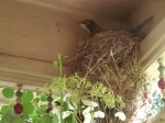 Momma Robin working on second brood