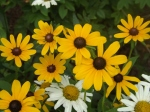 Rudbeckia and Daisy