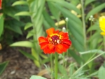 First zinnia to bloom
