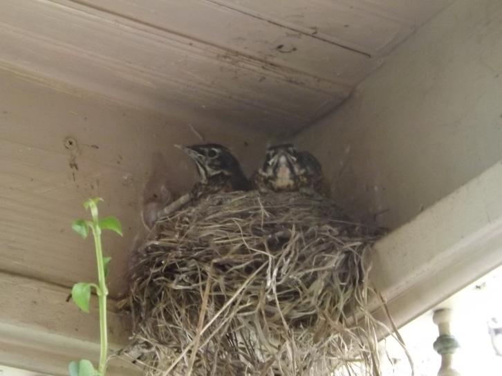 Baby Robins are growing..there are 3 but you can only see 2 here