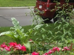 Scheherazade lilies full of buds
