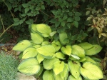 Hosta (love the bright foliage)