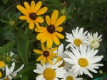 rudbeckia hirta and Leucanthemum x superbum....balck eyed Susan and Shasta daisy