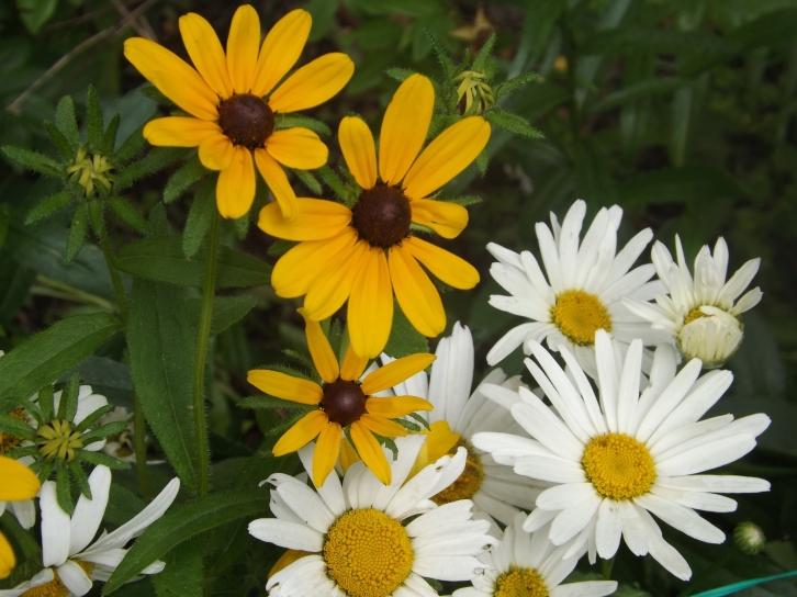 rudbeckia hirta and Leucanthemum x superbum....balck eyed Susan and Shasta daisy