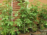 Tomato plants ...I grow them in pots on the sout side of the house...the only place in the yard with enough sun