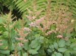 Astilbe starting to bloom