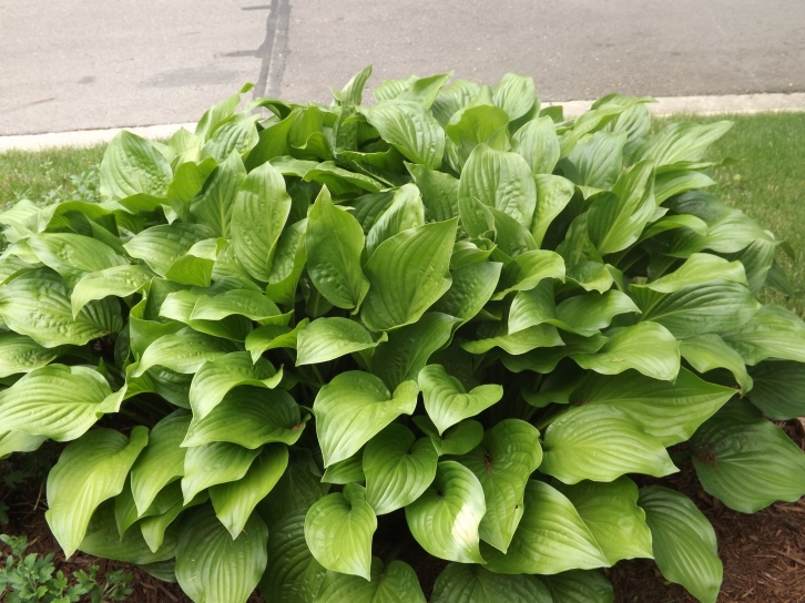 This hosta is 4 feet wide