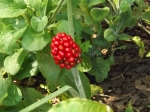 Jack in the pulpit berries