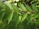 Calicarpa berries beginning