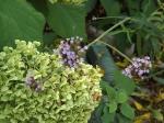 Verbena Boneriensis