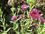 The first Asters blooming