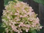 Hydrangea (pink blushed from the cool nights)