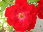 red ribbons rose