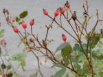 'Nearly Wild' rose hips