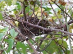 Bird nest in the climbing rose