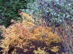 spirea with fall color