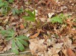 hellebore, seedling