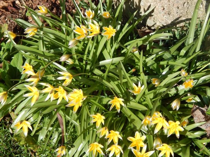 Tulip (tulipa tarda)