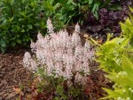 Foam Flower tiarella cordifolia