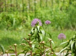 Allium and Peony buds