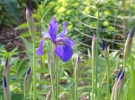 First of the Siberian Iris