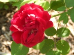 First Roses are opening