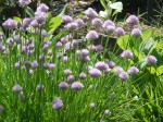 chives (make pretty flower garden plants)