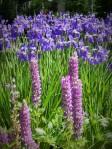 lupine and iris