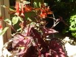 Begonia and Fuchsia