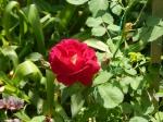 Cuthbert Grant Rose