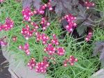Linaria reticulata
