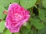 Reine des Violettes rose