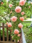 Colette Rose