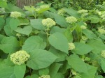 Annabelle Hydrangea starting to flower