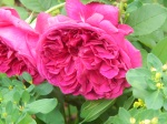 William Shakespeare 2000 rose