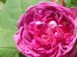 'Reine des Violettes rose