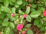Verdun Rose