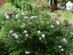 Snow Pavement Rose