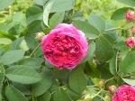 Charles de Mills rose