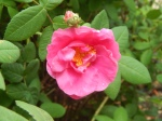 'Rosa gallica 'Officinalis''
