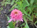Echinacea purpurea 'Pink Double Delight', first bloom this year