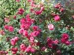 rose 'Alexander Mackenzie'